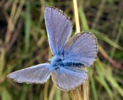 Common blue butterfly. Photograph courtesy of Bill Grange.